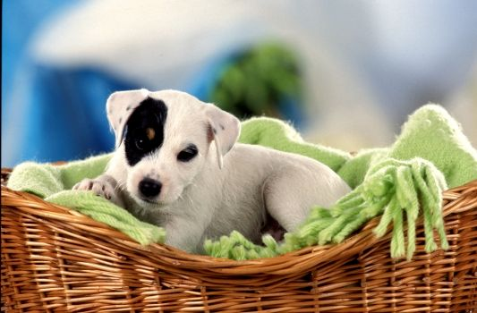 Parson Russell Terrier Welpe tricolor