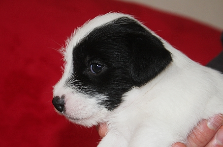 Maia unser Parson Russel Terrier Welpe