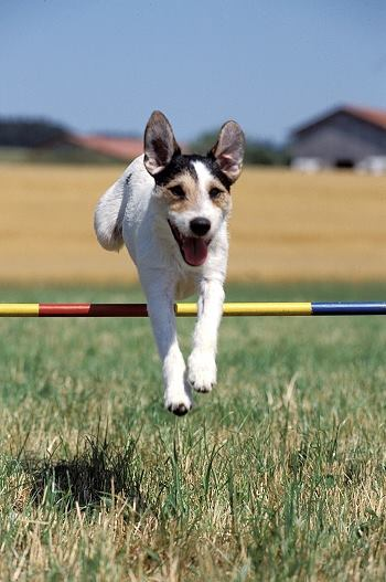Agility mit Parson Russell Terriern