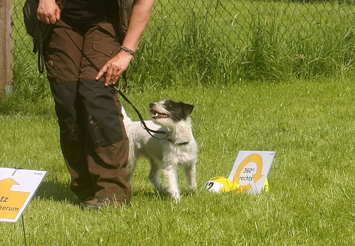 Parson Russell Terrier Hündin Maia im Rally Obedience