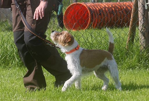 Rally Obedience mit Parson Russel Terrier